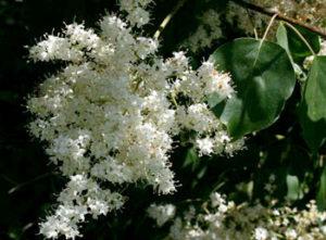 white blossom of China Snow tree lilac