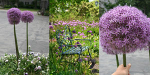 allium in pot and near bench