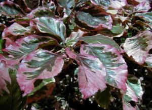 leaves of Roseomarginata