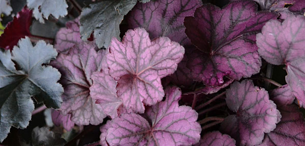 heuchera in Amherst