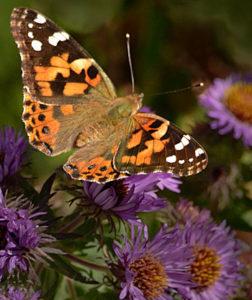 moth on aster flower