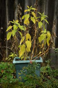 sunchoke plants at harvest time