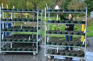 watering racks of potted bulbs