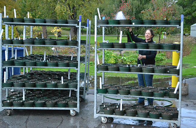 watering racks of potted bulbs