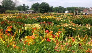 gardens at Lasting Dreams Daylilies in Orchard Park