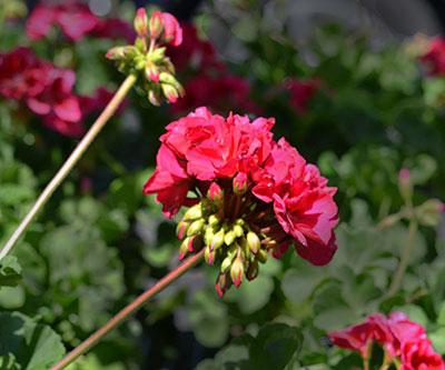geraniums at Mischler's in Williamsville