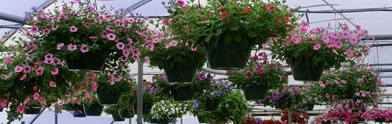 hanging baskets at Mischler's in Williamsville