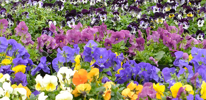 pansies at Mischler's by Stofko