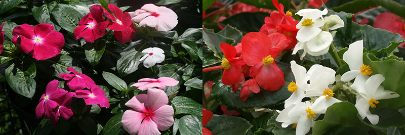 annual vinca and begonia