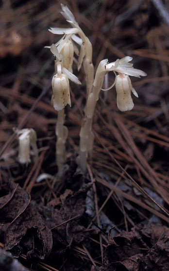 Indian pipe Monotropa Uniflora