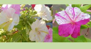 four o'clock flowers