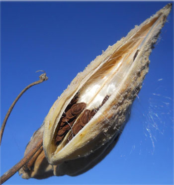 milkweed seeds