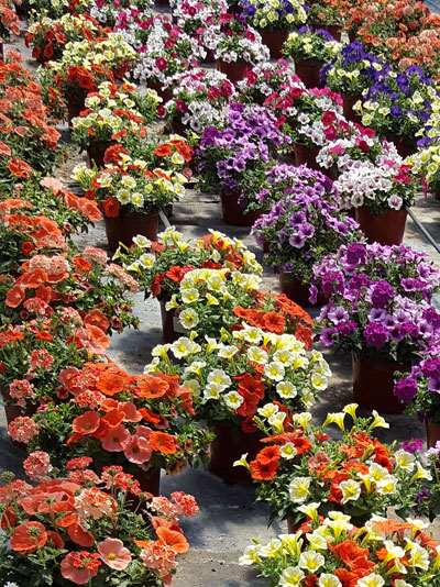 many pots of petunias at Mike Weber Greenhouses in West Seneca
