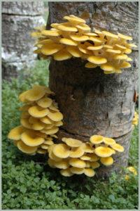 golden mushrooms on poplar logs