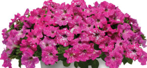 Petunia Headliner™ Pink Sky
