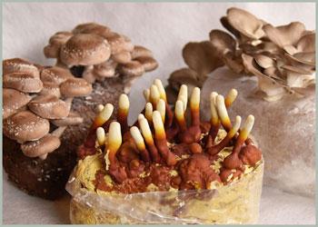 mushrooms grown on table