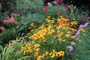 garden with black-eyes Susans