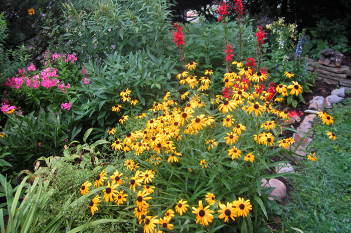 garden with black-eyes Susans