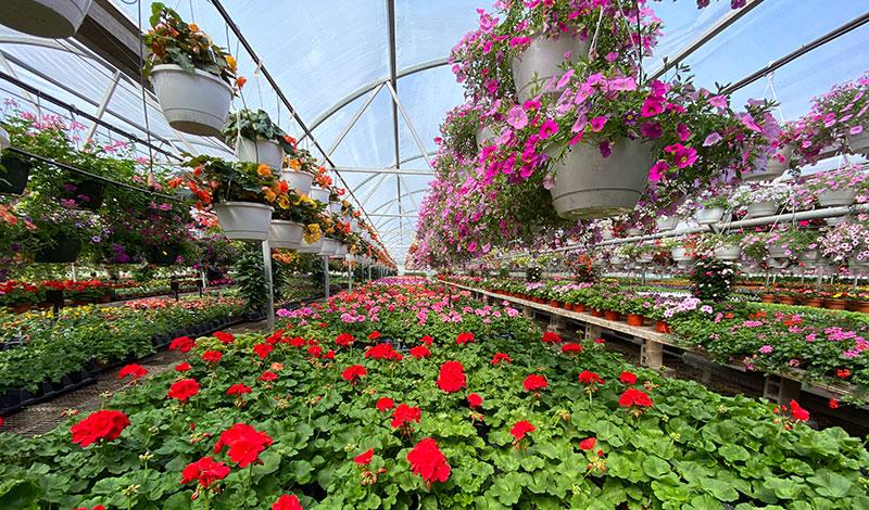 flowering plants in Bengert's greenhouse