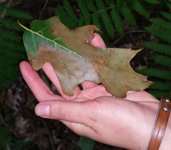 oak leaf with wilt