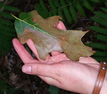 oak leaf with wilt