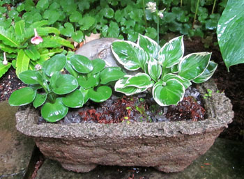 hosta in trough