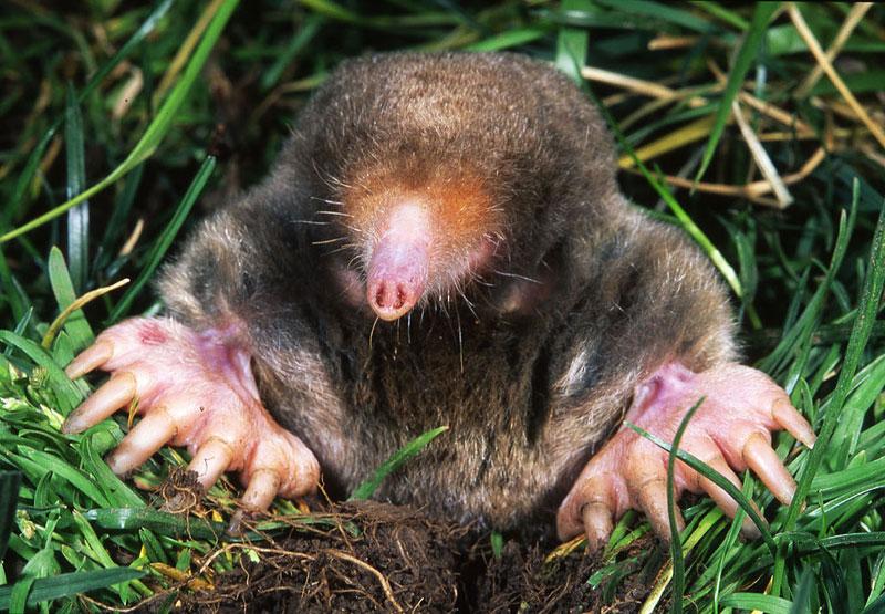 eastern mole