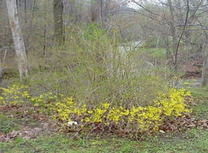 forsythia bush with some flowers killed in cold snap