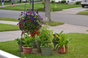 pots of vegetables on front lawn viewed from porch in Amherst