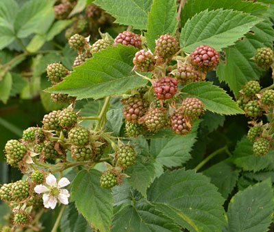 thornless blackberries on bush