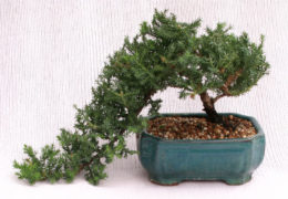 bonsai of Japanese juniper