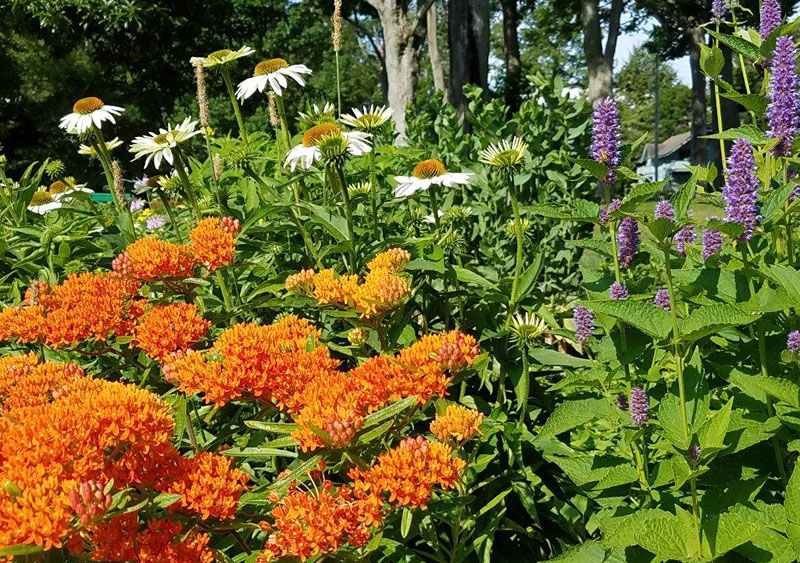 orange butterfly plant and anise hyssop