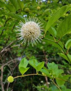 button bush in Chautauqua