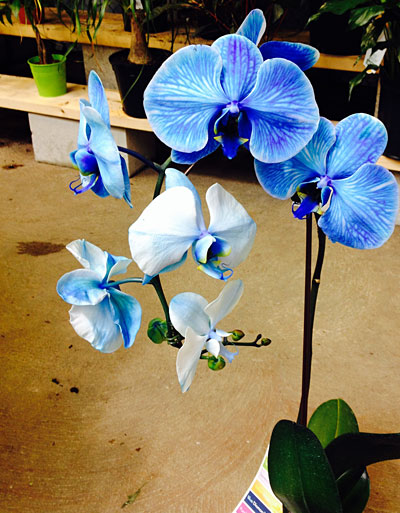 orchid dyed blue