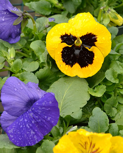 pansies with rain drops in Amherst