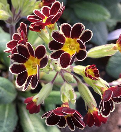 Primula polyanthus 'Victoriana Gold Lace'
