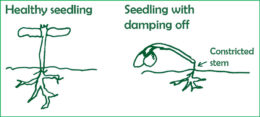 healthy seedling and seedling with damping off