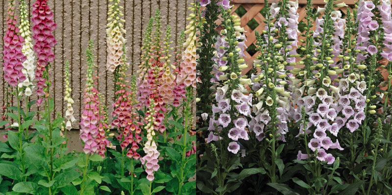 foxglove Excelsior and Camelot