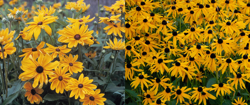 short-lived and long-lived rudbeckia