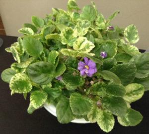 'Rambling' African violet