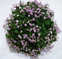 trailing African violet 'Cirelda'
