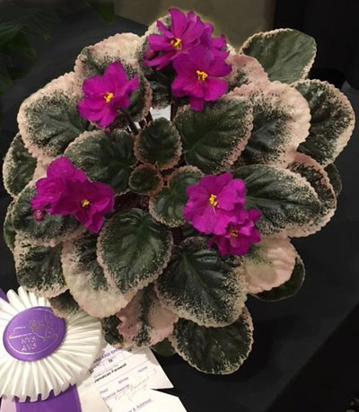 African violet called Ma's Jamaican Farewell