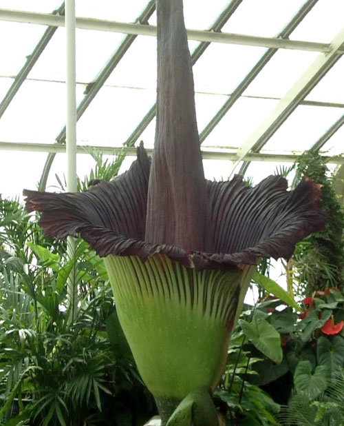 Morty the corpse flower
