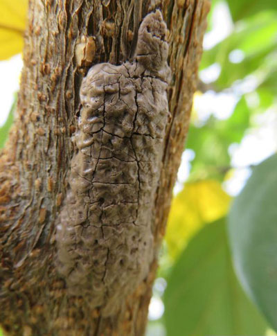 egg masses of spotted lanternfly