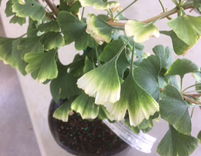 ginkgo 'Snow Cloud'