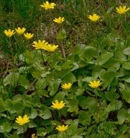 lesser celandine in Amherst NY