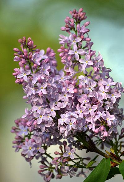 lilacs in Amherst NY