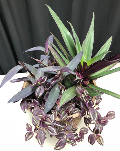 Wandering Jew and Moses-in-the-cradle plants in Buffalo