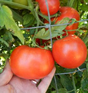 Glamour heirloom tomato