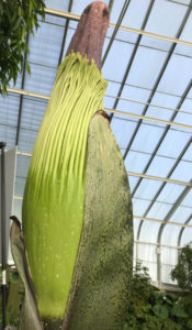 Fester corpse flower Buffalo Erie County Botanical Gardens
